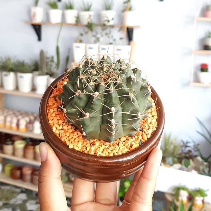 kaktus tanaman hias